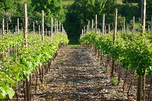 Vineyard in Dacorum