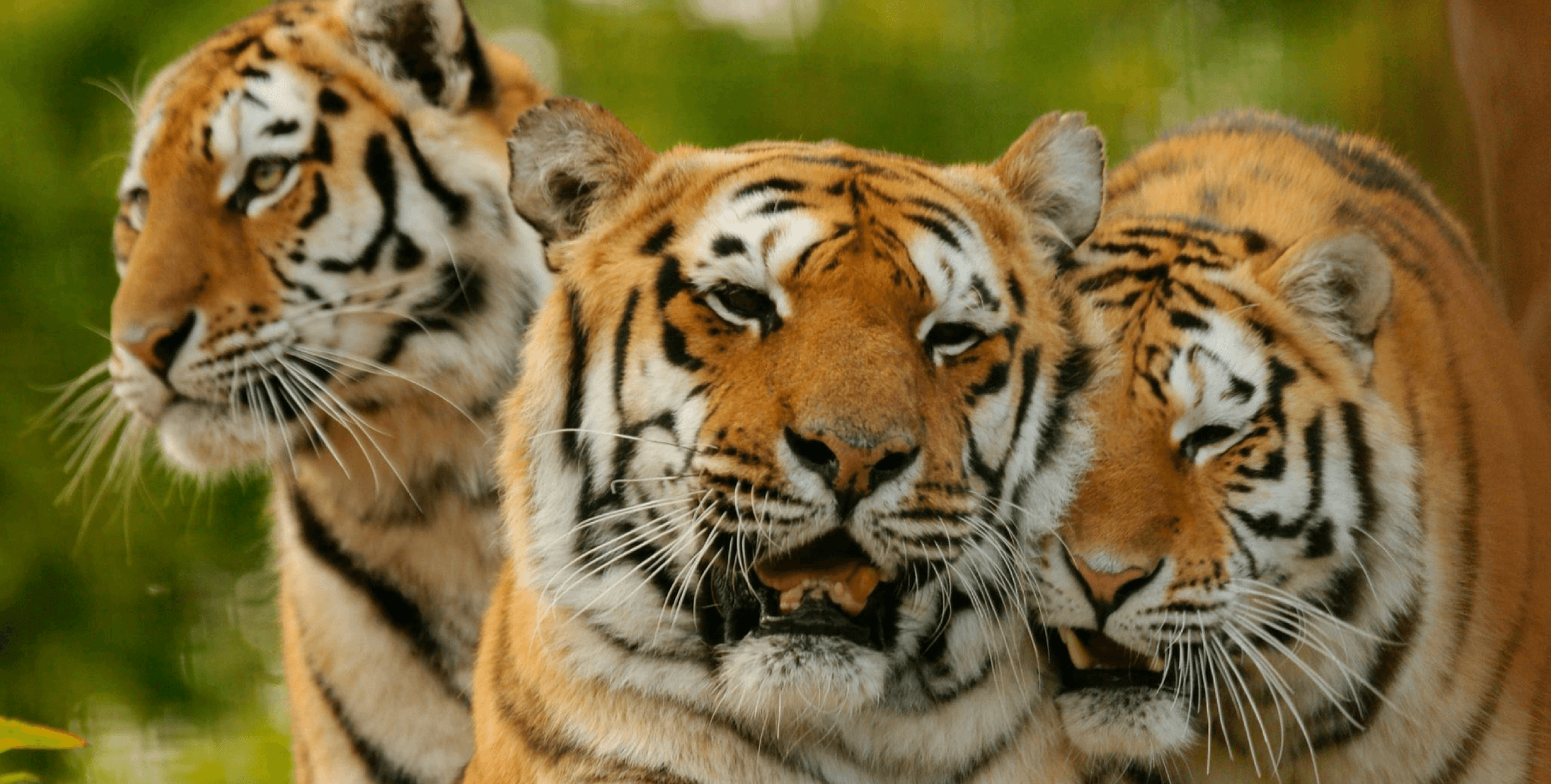 Land of the Tiger is a BBC nature documentary series exploring the natural history of the Indian subcontinent first transmitted in the UK on BBC Two in 1997